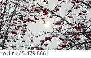 Купить «Красная рябина зимой», видеоролик № 5479866, снято 13 января 2014 г. (c) Михаил Коханчиков / Фотобанк Лори