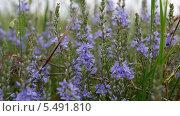 Купить «Полевые цветы. Вероника дубровник», фото № 5491810, снято 8 мая 2012 г. (c) Иван Федоренко / Фотобанк Лори