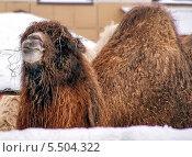 Верблюд в зимнем зоопарке. Стоковое фото, фотограф Пушкина Ольга / Фотобанк Лори