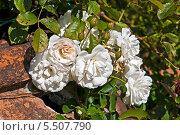 Белые розы на итальянской амфоре. Вилла Медичи Петрайя. Стоковое фото, фотограф Алла Вовнянко / Фотобанк Лори