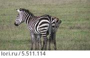 Купить «Полосатые зебры в природе. Национальный парк Серенгети, Танзания, Африка», видеоролик № 5511114, снято 11 января 2014 г. (c) Кекяляйнен Андрей / Фотобанк Лори