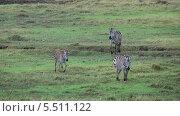 Купить «Полосатые зебры пасутся в полях парка Серенгети, Танзания, Африка», видеоролик № 5511122, снято 11 января 2014 г. (c) Кекяляйнен Андрей / Фотобанк Лори