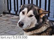 Аляскинский маламут с грустными глазами. Стоковое фото, фотограф Александр Заболотный / Фотобанк Лори