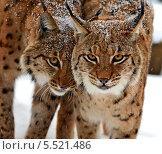 Купить «Две диких рыси в зимнем заснеженном лесу», фото № 5521486, снято 22 января 2014 г. (c) Эдуард Кислинский / Фотобанк Лори