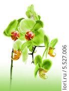 Купить «Зелёные орхидеи», фото № 5527006, снято 25 июня 2011 г. (c) ElenArt / Фотобанк Лори