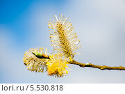 Купить «Верба на фоне голубого неба», фото № 5530818, снято 27 апреля 2013 г. (c) Татьяна Кахилл / Фотобанк Лори