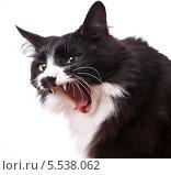 Купить «Кот зевает», эксклюзивное фото № 5538062, снято 29 января 2014 г. (c) Куликова Вероника / Фотобанк Лори