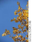 Золотая осень. Ветки яблони на фоне голубого неба. Стоковое фото, фотограф Алексеева Оксана / Фотобанк Лори