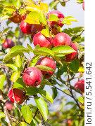 Купить «Урожай красных яблок», фото № 5541642, снято 24 сентября 2012 г. (c) Сергей Дубров / Фотобанк Лори