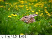 Кролик среди одуванчиков. Стоковое фото, фотограф Семен Трофимов / Фотобанк Лори