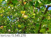 Купить «Яблоки на ветке», эксклюзивное фото № 5545270, снято 18 августа 2013 г. (c) Алёшина Оксана / Фотобанк Лори