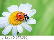 Купить «Божья коровка на цветке ромашки на зеленом фоне», фото № 5547386, снято 7 июля 2012 г. (c) Типляшина Евгения / Фотобанк Лори