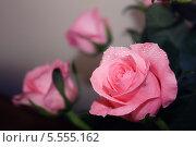 Розовые розы в каплях воды на нейтральном фоне. Стоковое фото, фотограф Наталья Багаева / Фотобанк Лори