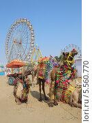 Красиво украшенные верблюды на ярмарке в Пушкаре, Индия (2012 год). Стоковое фото, фотограф Михаил Коханчиков / Фотобанк Лори