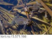 Купить «Лягушки в пруду», эксклюзивное фото № 5571166, снято 29 апреля 2013 г. (c) Елена Коромыслова / Фотобанк Лори