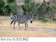 Купить «Зебра», фото № 5572862, снято 20 августа 2010 г. (c) Знаменский Олег / Фотобанк Лори