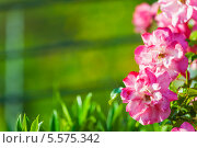Купить «Розовые цветы на фоне зелени. Летний фон», фото № 5575342, снято 5 июня 2012 г. (c) Наталия Македа / Фотобанк Лори