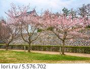 Купить «Деревья сакуры в цвету», фото № 5576702, снято 23 марта 2008 г. (c) Serg Zastavkin / Фотобанк Лори