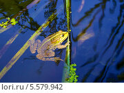 Лягушка в воде. Стоковое фото, фотограф Irina Kolokolnikova / Фотобанк Лори
