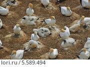 Северная, или обыкновенная олуша (лат. Morus bassanus). Колония птиц с птенцами (2011 год). Стоковое фото, фотограф Galina Vydryakova / Фотобанк Лори