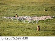 Коричневый сурок в горах. Стоковое фото, фотограф Евгений Дубинчук / Фотобанк Лори