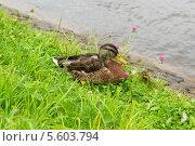 Утка на берегу реки. Стоковое фото, фотограф Pavel Kozlovsky / Фотобанк Лори