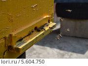 Пчелы около входа в улей. Стоковое фото, фотограф Максим Люлюченко / Фотобанк Лори