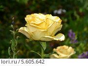 Желтая роза. Стоковое фото, фотограф Максим Люлюченко / Фотобанк Лори
