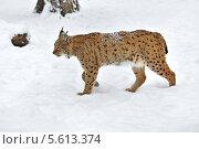 Купить «Рысь шагает по снегу», фото № 5613374, снято 22 января 2014 г. (c) Эдуард Кислинский / Фотобанк Лори
