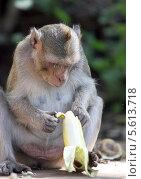 Макака в Таиланде ест банан. Стоковое фото, фотограф Ольга Язовских / Фотобанк Лори