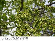 Купить «Плоды вяза, или ильма (Ulmus) весной», фото № 5619810, снято 5 мая 2012 г. (c) Алёшина Оксана / Фотобанк Лори