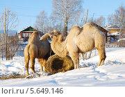 Купить «Пара верблюдов на снегу», фото № 5649146, снято 1 февраля 2014 г. (c) Александр Филитарин / Фотобанк Лори