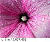 Капли на цветке. Стоковое фото, фотограф Светлана Олюнина / Фотобанк Лори