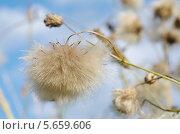 Купить «Бодяк полевой, или розовый осот (лат. Cirsium arvense) после цветения», эксклюзивное фото № 5659606, снято 20 августа 2013 г. (c) Елена Коромыслова / Фотобанк Лори