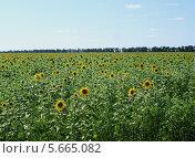 Купить «Поле подсолнухов», фото № 5665082, снято 13 июля 2008 г. (c) Евгения Шитюк / Фотобанк Лори