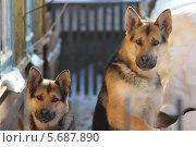 Собаки. Стоковое фото, фотограф Александр Пьянков / Фотобанк Лори