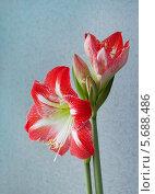 Купить «Яркий цветок (Amaryllis)», фото № 5688486, снято 19 февраля 2014 г. (c) Александр Романов / Фотобанк Лори