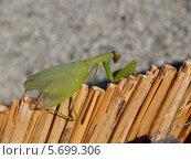 Купить «Богомол обыкновенный (Mantis religiosa Linnaeus)», фото № 5699306, снято 13 сентября 2011 г. (c) Ирина Борсученко / Фотобанк Лори