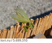 Купить «Богомол обыкновенный (Mantis religiosa Linnaeus) перелезает через изгородь», фото № 5699310, снято 13 сентября 2011 г. (c) Ирина Борсученко / Фотобанк Лори