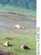Львята лежат в траве в Национальном парке кратер вулкана Нгоронгоро (2008 год). Стоковое фото, фотограф Владимир Григорьев / Фотобанк Лори