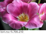 Купить «Розовый тюльпан с желтыми тычинками крупным планом», фото № 5700210, снято 11 марта 2014 г. (c) Светлана Ильева (Иванова) / Фотобанк Лори