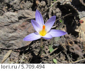 Голубой первоцвет. Стоковое фото, фотограф Lelik-natateniya / Фотобанк Лори