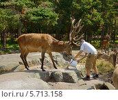 Купить «Мужчина подкармливает Благородных оленей  (лат. Cervus elaphus) в лесу», фото № 5713158, снято 24 июля 2013 г. (c) Валерия Попова / Фотобанк Лори