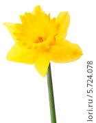 Купить «Один желтый нарцисс на белом фоне», фото № 5724078, снято 9 мая 2013 г. (c) Natalja Stotika / Фотобанк Лори