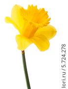 Купить «Желтый нарцисс на белом фоне», фото № 5724278, снято 9 мая 2013 г. (c) Natalja Stotika / Фотобанк Лори
