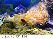 Купить «Актинии, кораллы и тропические рыбки в аквариуме», фото № 5731114, снято 27 февраля 2014 г. (c) Анна Мартынова / Фотобанк Лори