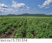 Купить «Поле цветущего картофеля под облачным небом», фото № 5731514, снято 15 июля 2012 г. (c) Олег Рубик / Фотобанк Лори