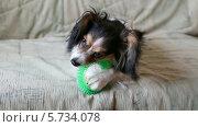 Купить «Подрощенный щенок грызёт силиконовую игрушку для собак», видеоролик № 5734078, снято 23 марта 2014 г. (c) Сергей Лаврентьев / Фотобанк Лори