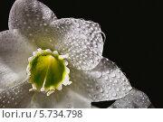 Купить «Цветок Амазонской лилии крупным планом», фото № 5734798, снято 16 марта 2013 г. (c) Ольга Денисова / Фотобанк Лори