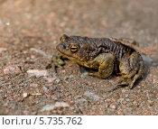 Купить «Лягушка на песке», фото № 5735762, снято 8 мая 2010 г. (c) Светлана Кудрина / Фотобанк Лори